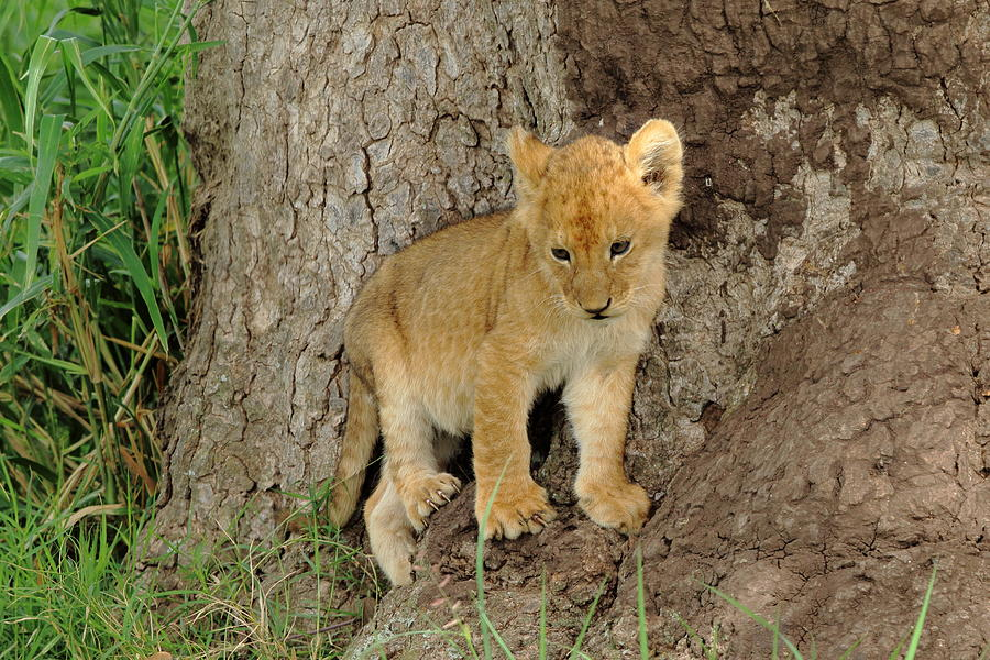 Lion Cub at the Serengeti by Steve Wolfe