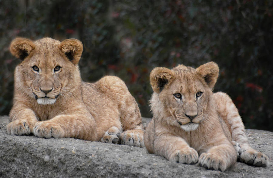 Lion Cubs - Brother And Sister Photograph