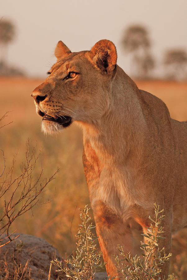 Lioness Photograph - Lioness At Sunset by MaryJane Sesto