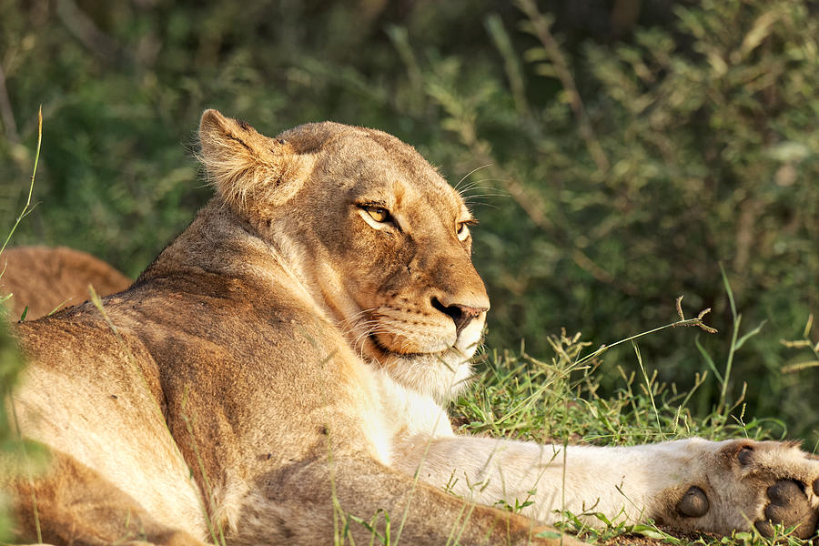 Lioness lazing in the Klaserie Reserve, Greater Kruger National Park Photograph by Mark Meredith