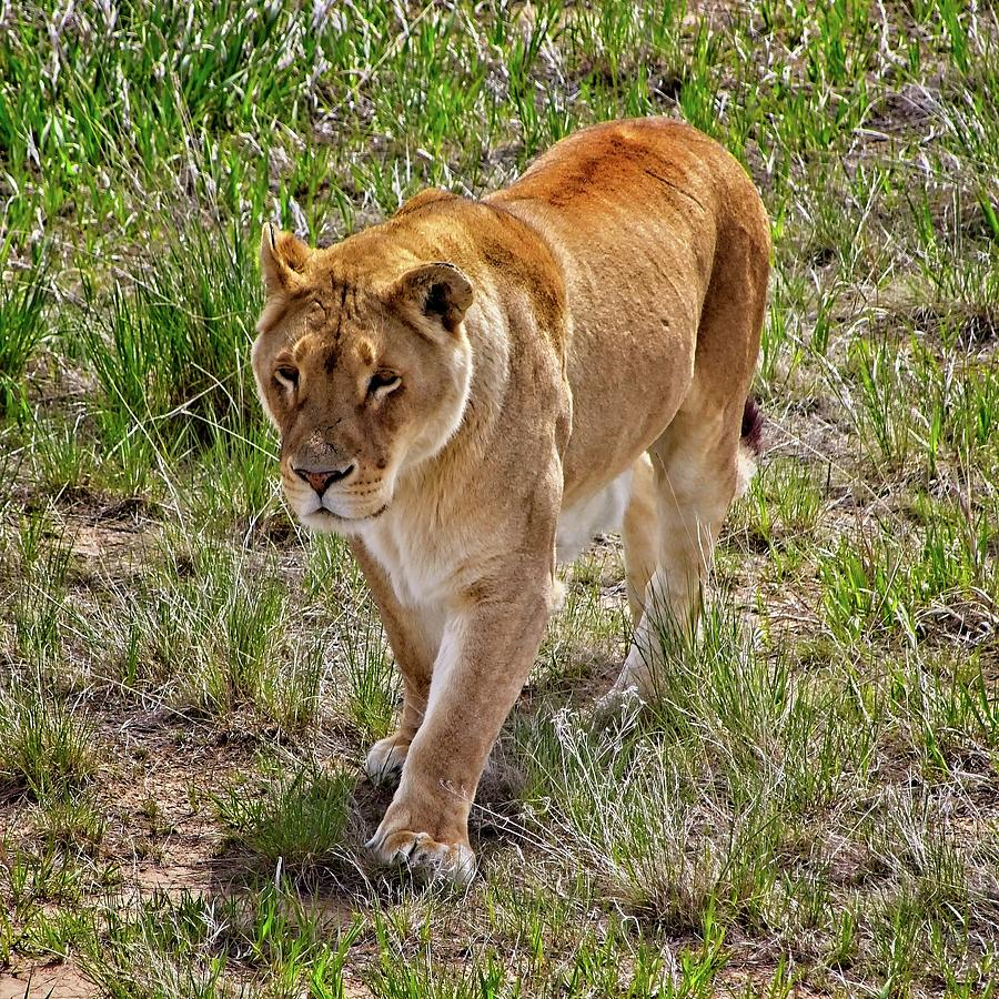 Lioness On The Prowl #3 Photograph