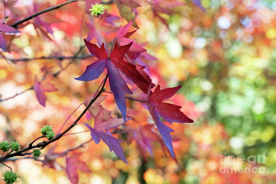 Liquidambar Andrew Hewson Foliage in Autumn by Tim Gainey