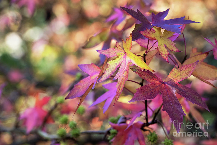 Liquidambar Andrew Hewson Leaves in Autumn by Tim Gainey