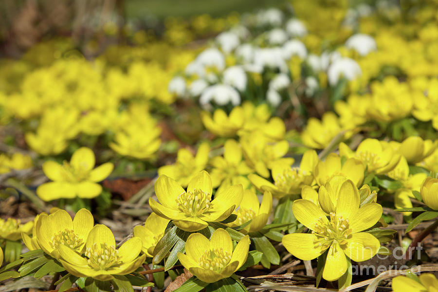 Aconites Photograph - Listen To The Earth by Marilyn Cornwell