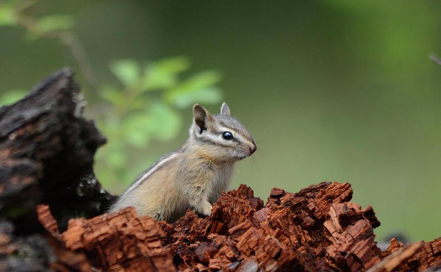 Little Chipmunk Photograph