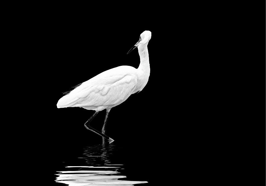 Little Egret Dance in BW by Perla Copernik