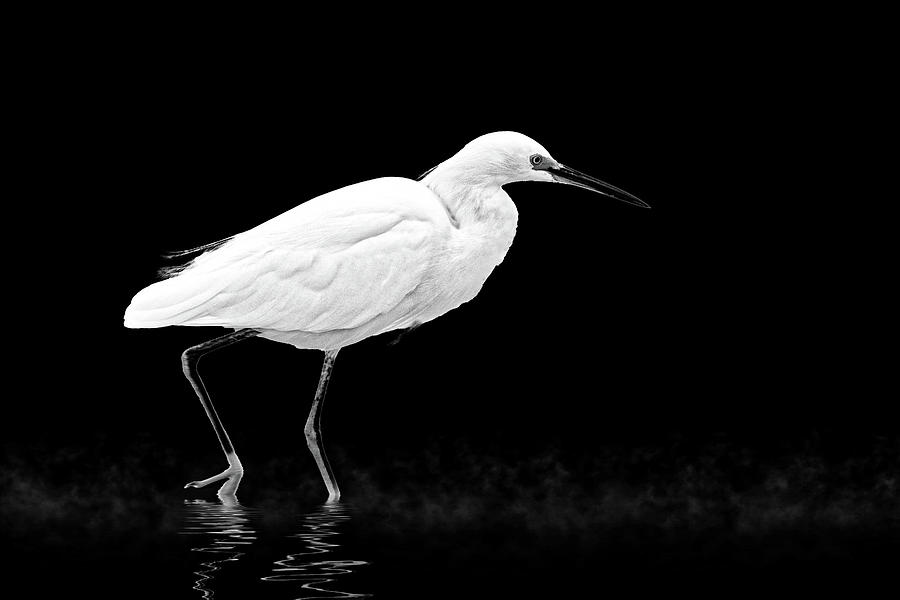 Little Egret Strolling in BW by Perla Copernik