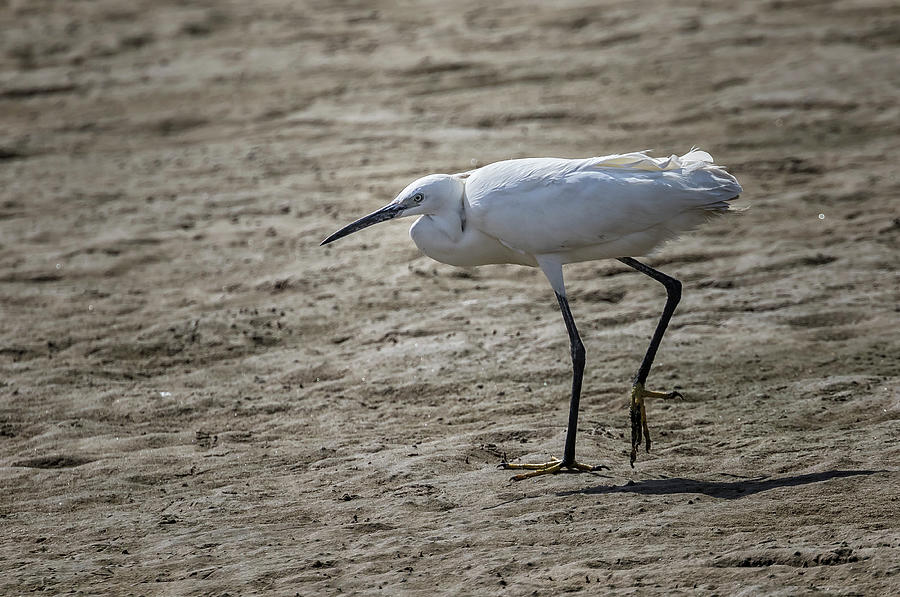 Little Egret, Walvis Bay Day, No. 2 by Belinda Greb