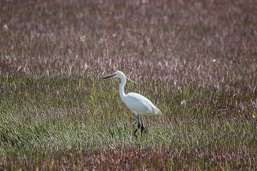 Little Egret, Walvis Bay, No. 1 by Belinda Greb