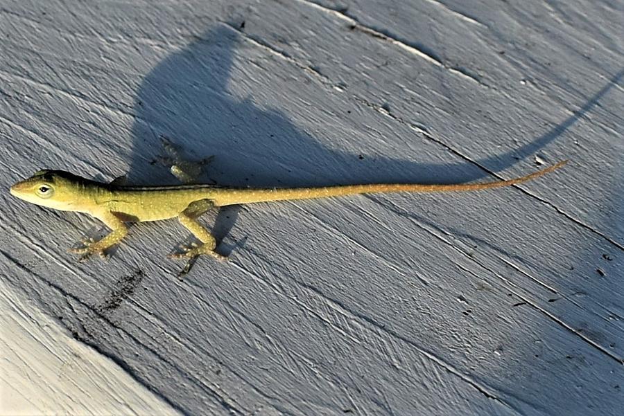 Little Green Lizard Photograph