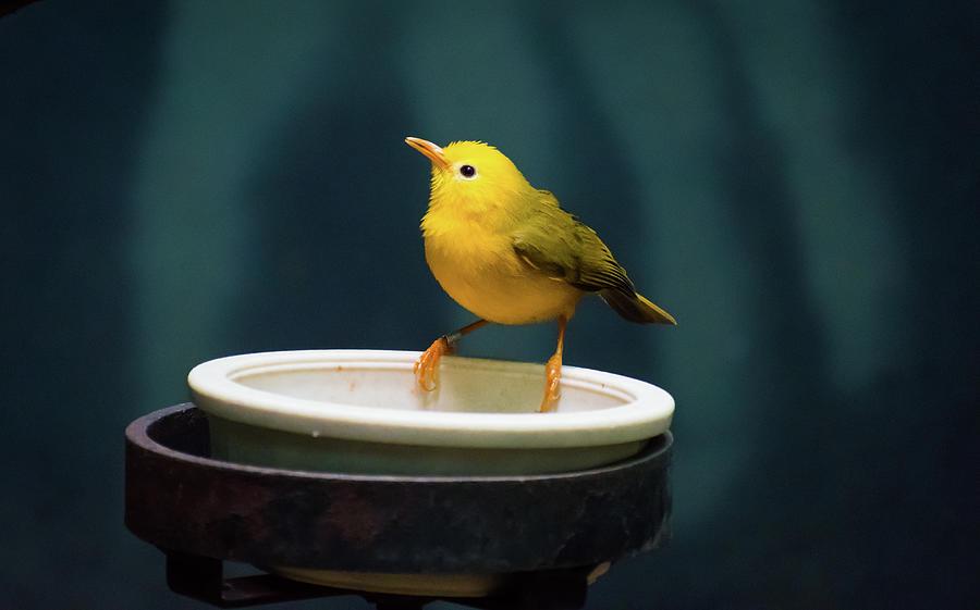 Little Yellow Bird Photograph