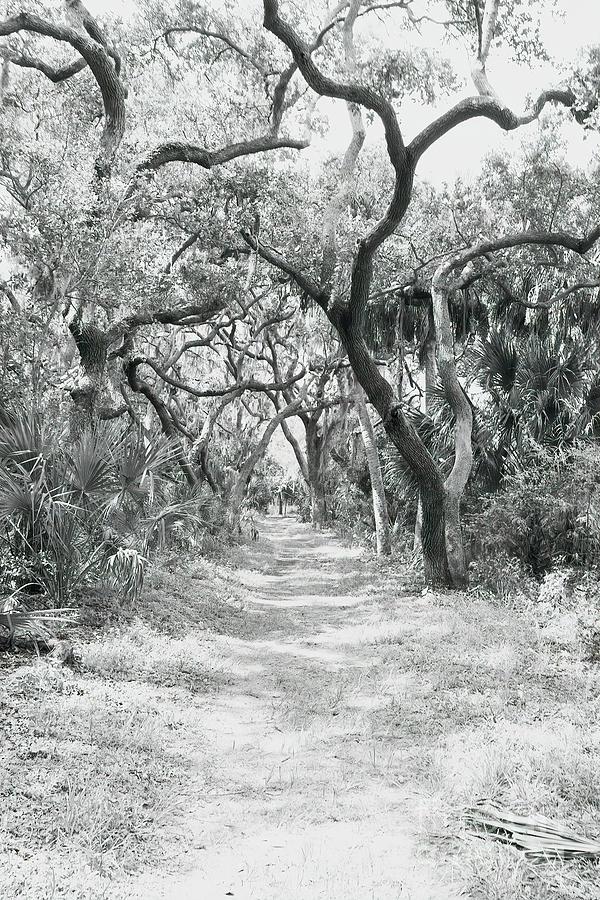 Oak Tree Photograph - Live Oak Path by Felix Lai
