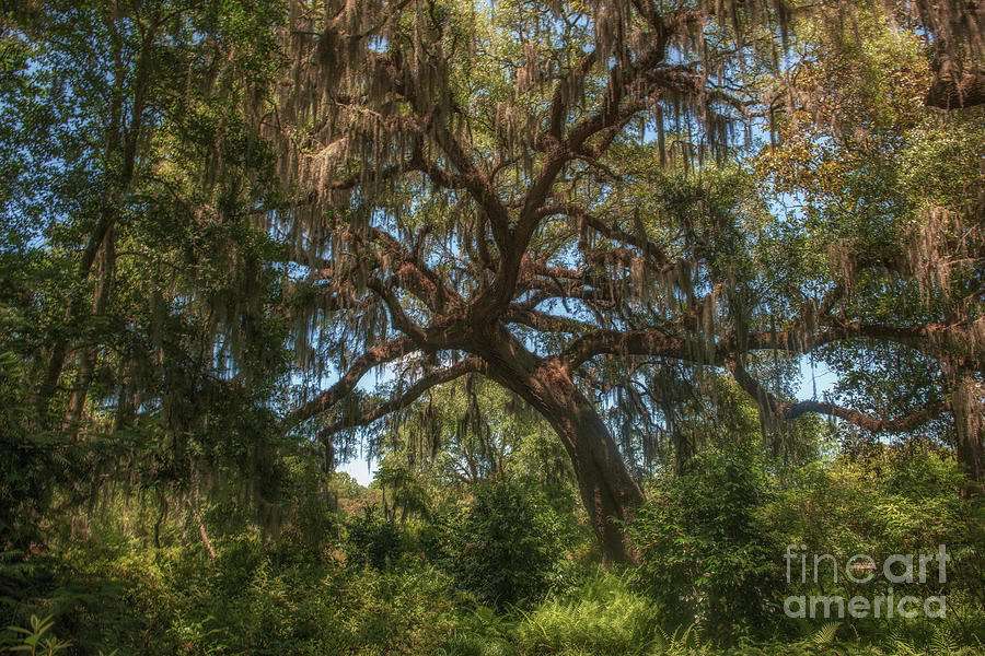 Live Oak Stretching To Kiss The Sunlight Photograph