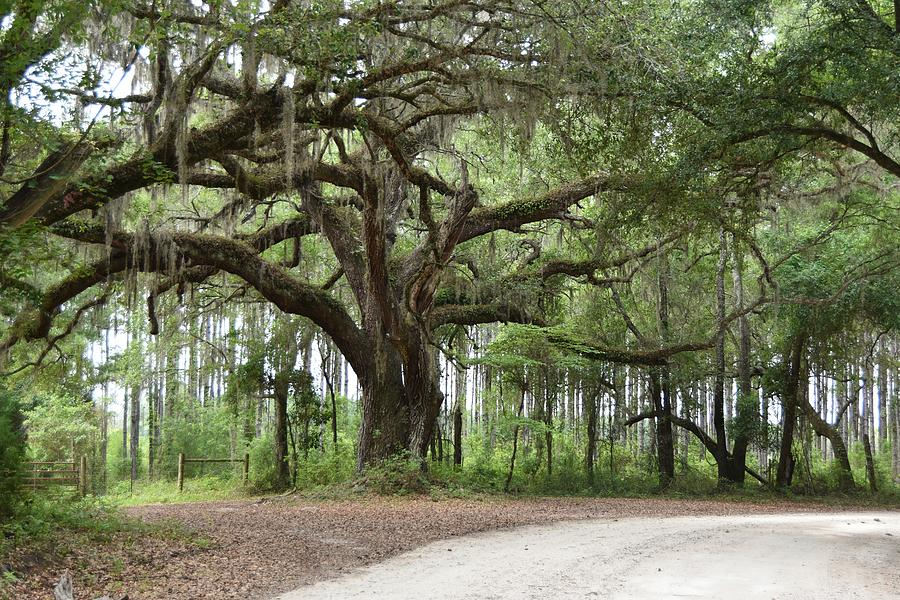 Live Oak Tree In The Corner Of The Road Photograph