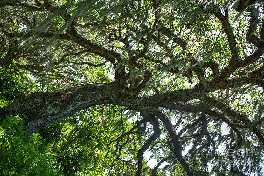 Live Oak Tree Leaning Through Time Photograph