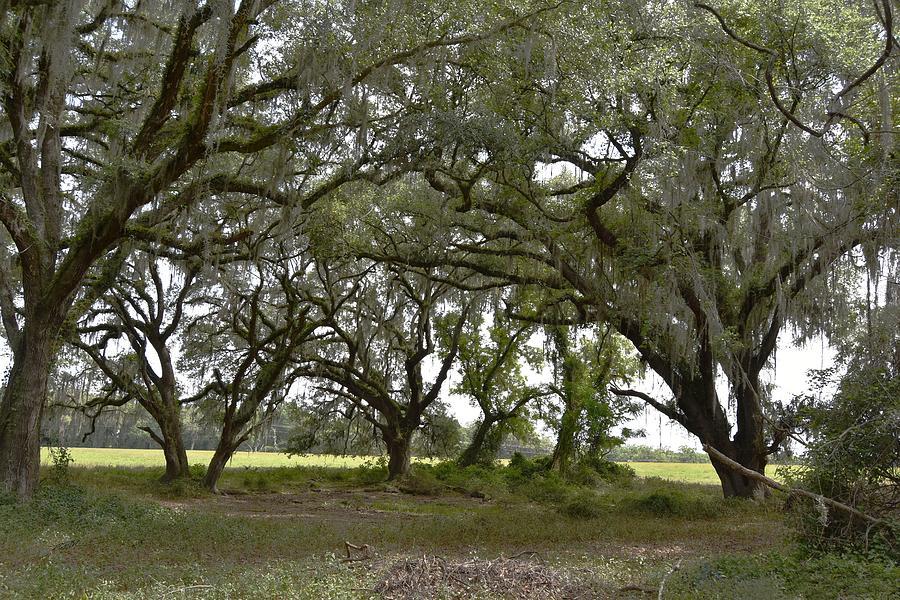 Live Oak Tree Shade Photograph