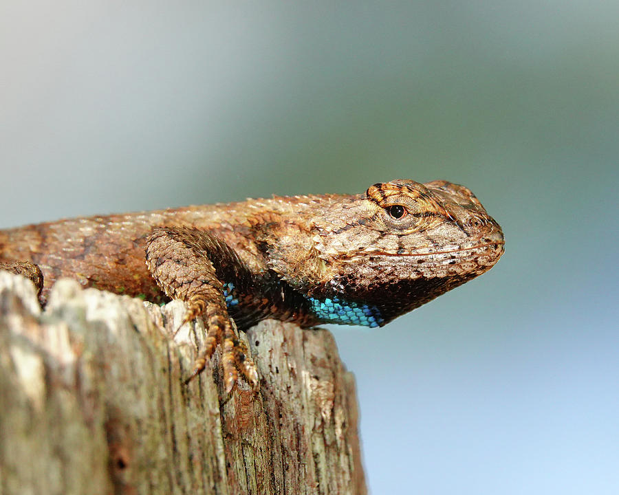Lizard Life Photograph