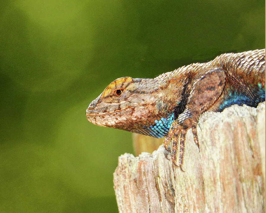 Lizard On The Gate Post Photograph