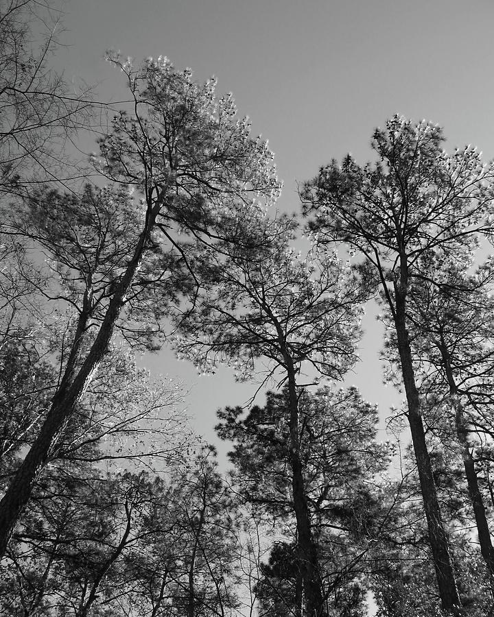 Loblolly Pine Trees Photograph