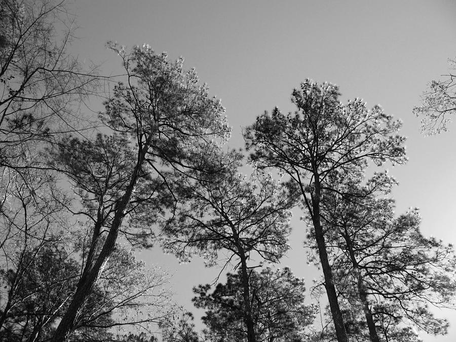 Loblolly Pines In The Woodlands Photograph