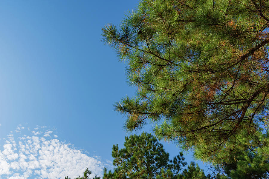 Loblolly Sky Photograph