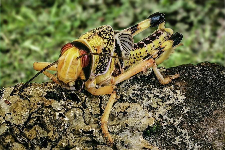 Locust by James Lamb