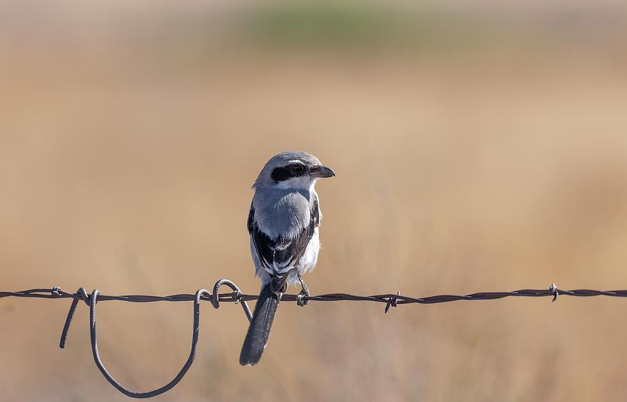 Loggerhead Shrike 2019 by Thomas Young