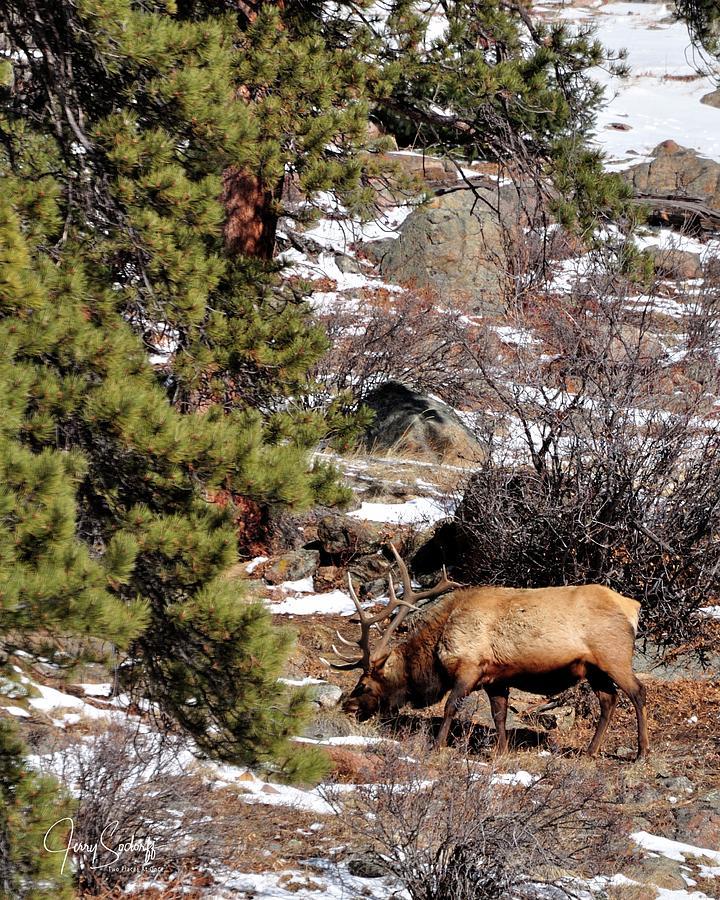 Lone Elk Grazing DS by Jerry Sodorff