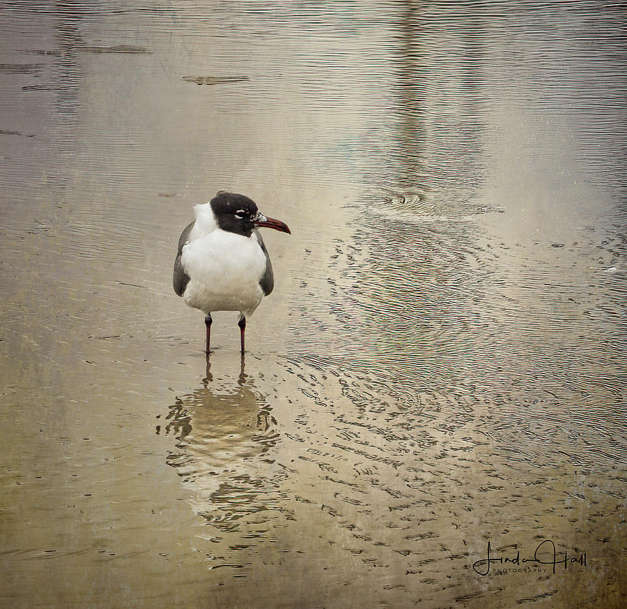 Seagull Photograph - Lone Laughing Gull by Linda Lee Hall