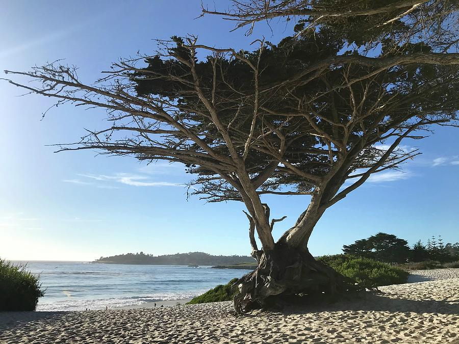 Lone Pine Carmel Beach Photograph