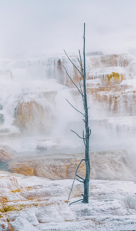 Lone Tree At Canary Spring Yellowstone National Park Photograph