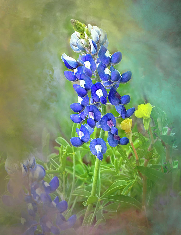 Lonestar Bluebonnet Watercolor by Harriet Feagin