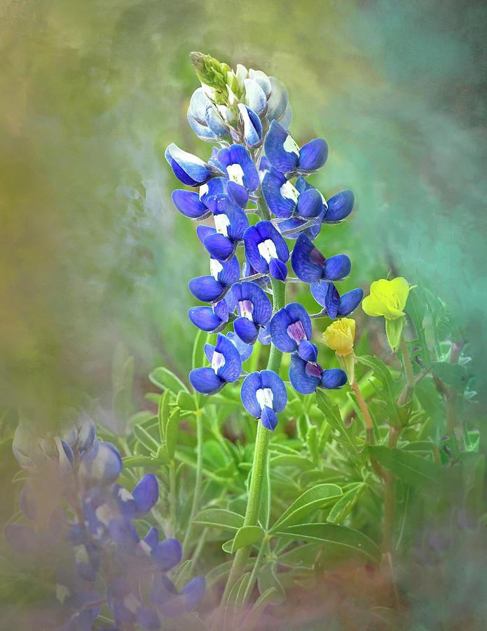 Lonestar Bluebonnet Watercolor by Harriet Feagin