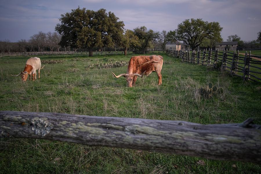 Longhorns Photograph