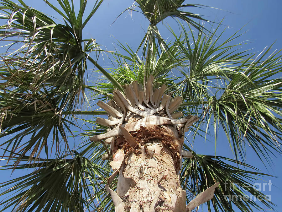 Looking up at the Palm Tree by Roberta Byram