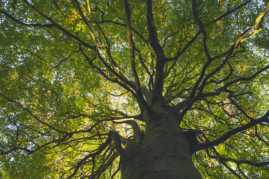 Looking up through the intricate branches of a large tree full of leaves Photograph by Catherine MacBride