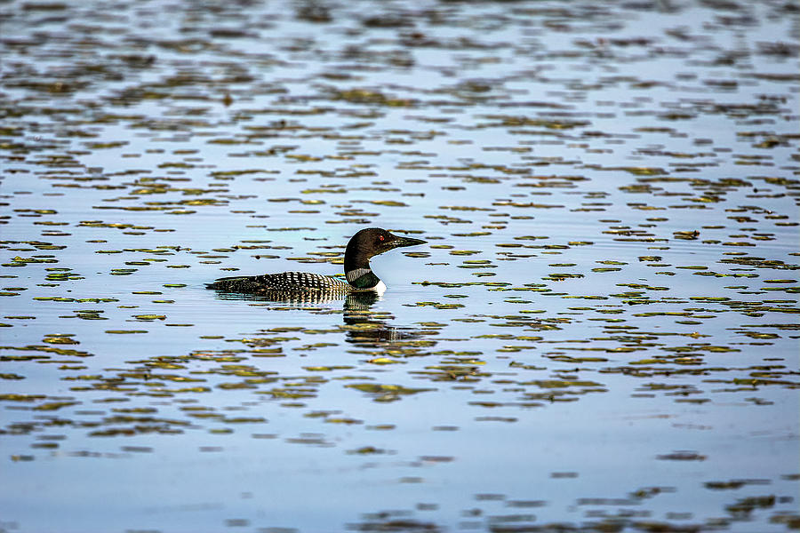 Loon in the marsh by Al  Mueller
