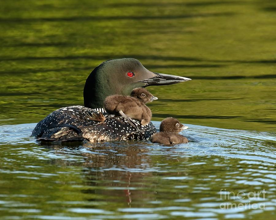 Loon Mom And Her Babies Photograph