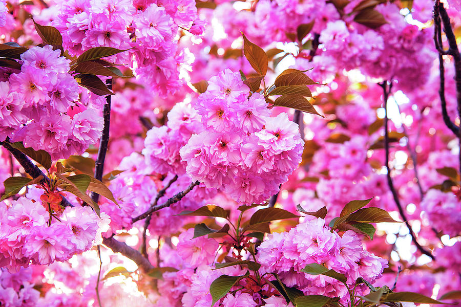 Cherry Blossoms Photograph - Lotsa Blossoms by Greg Fortier