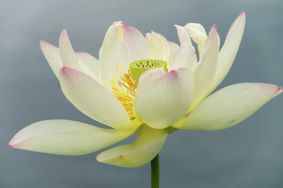Lotus bloom by Stacy Abbott