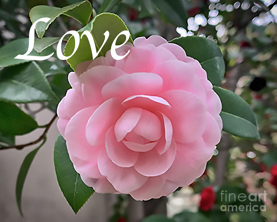 Floral Photograph - Love - Camellia Soft Pink Bloom by Kirt Tisdale