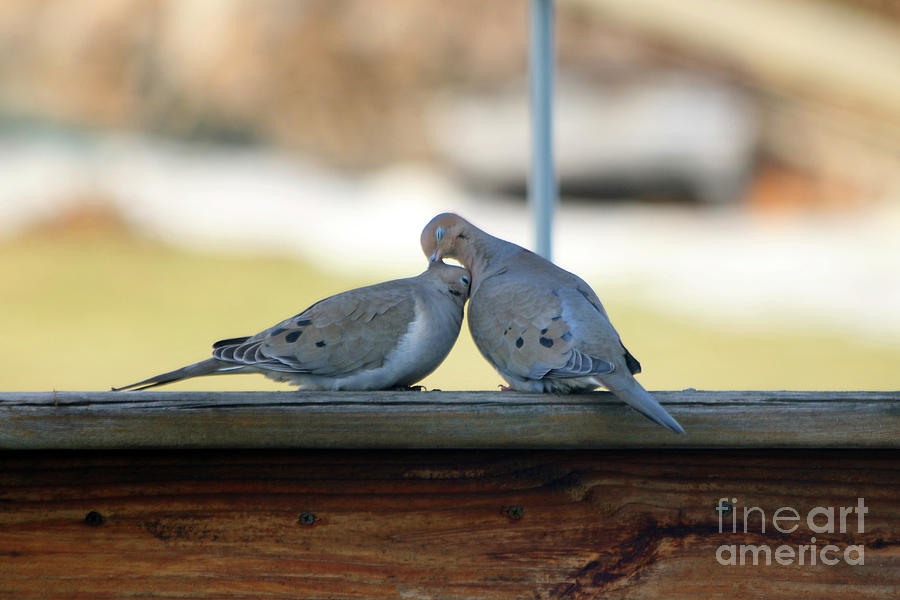 Love Doves 4306 Photograph