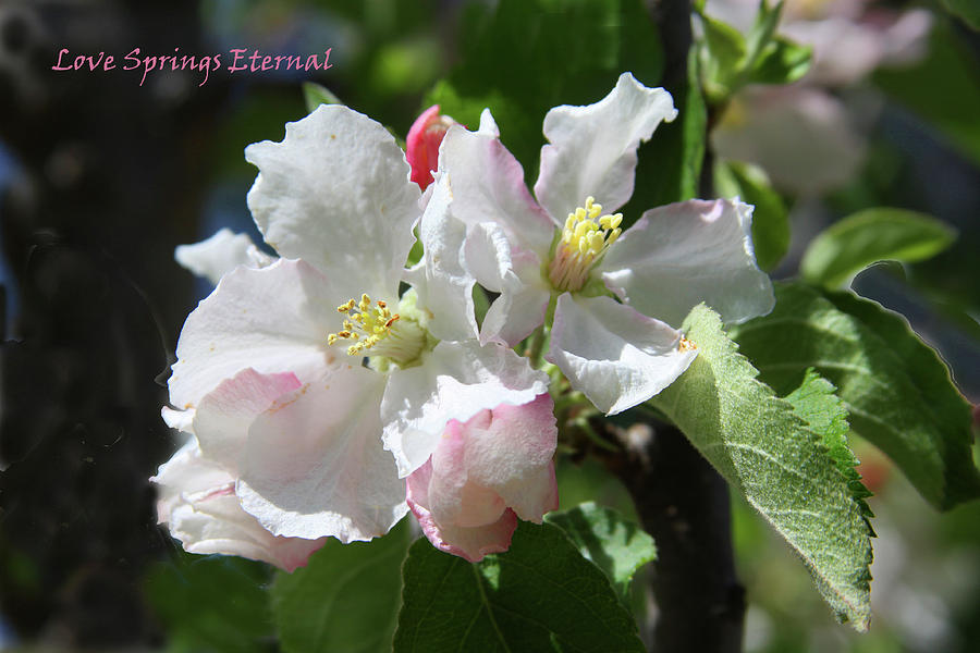 Apple Blossoms Photograph - Love Springs Eternal by John Lautermilch