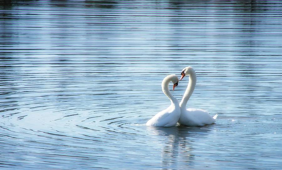 Love Swan II by Steph Gabler
