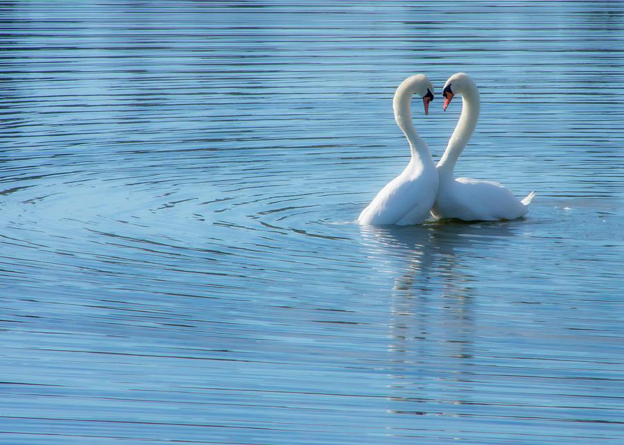 Love Swan by Steph Gabler