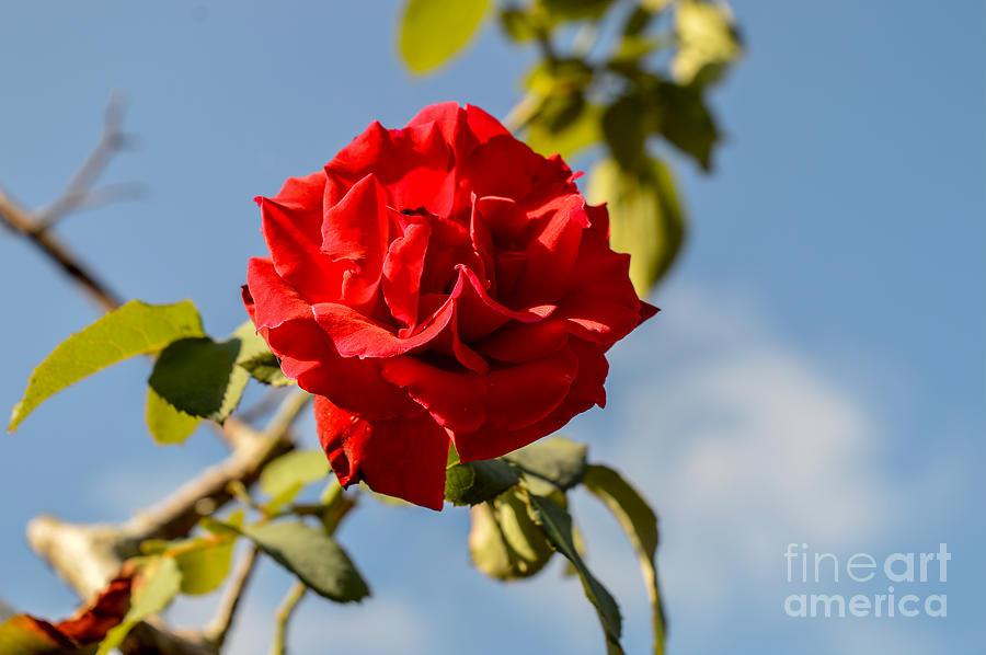Lovely Rose Photograph