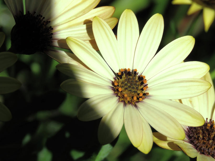 Lovely Yellow Daisies In The Evening Sunlight Photograph