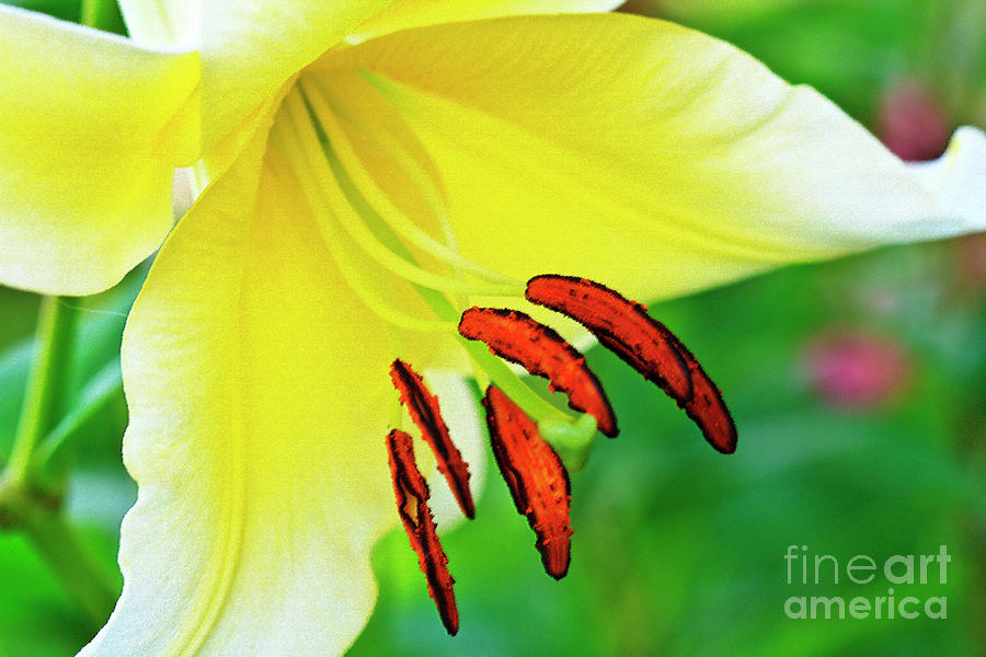 Lovely Yellow Lily Photograph