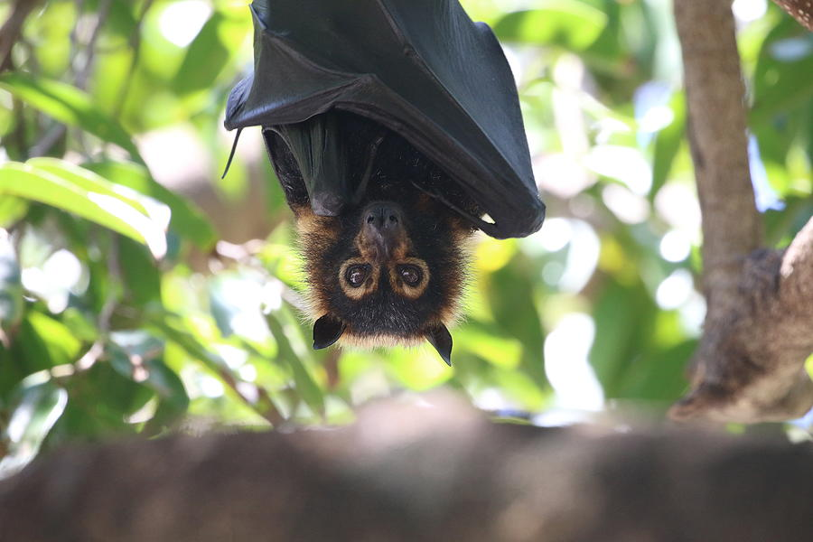 Low Angle View Of Flying Fox Hanging On Tree Photograph by Peter Schaefer / EyeEm