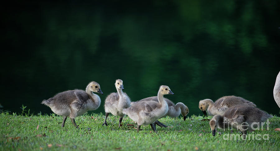 Lowcountry Gathering - Baby Geese Photograph